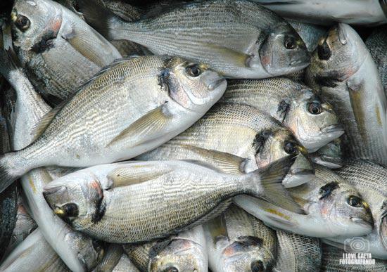 A Gaeta vera e propria pesca miracolosa nel Golfo di orate di allevamento
