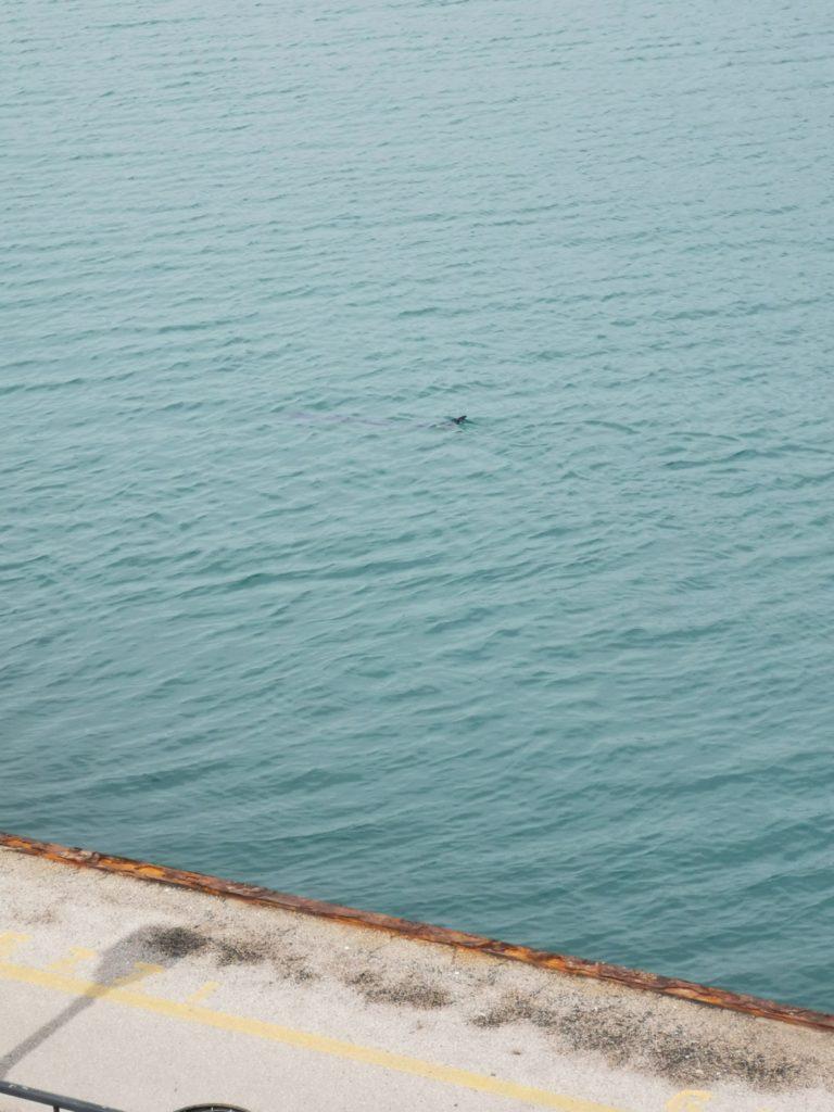 *Eccezionale Video* piccolo di delfino nel Golfo di Gaeta